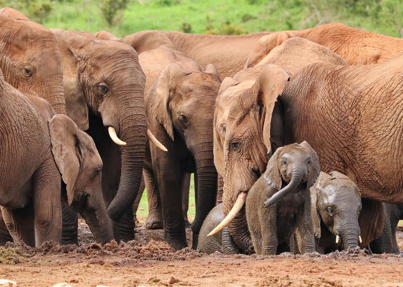elefánt afrika