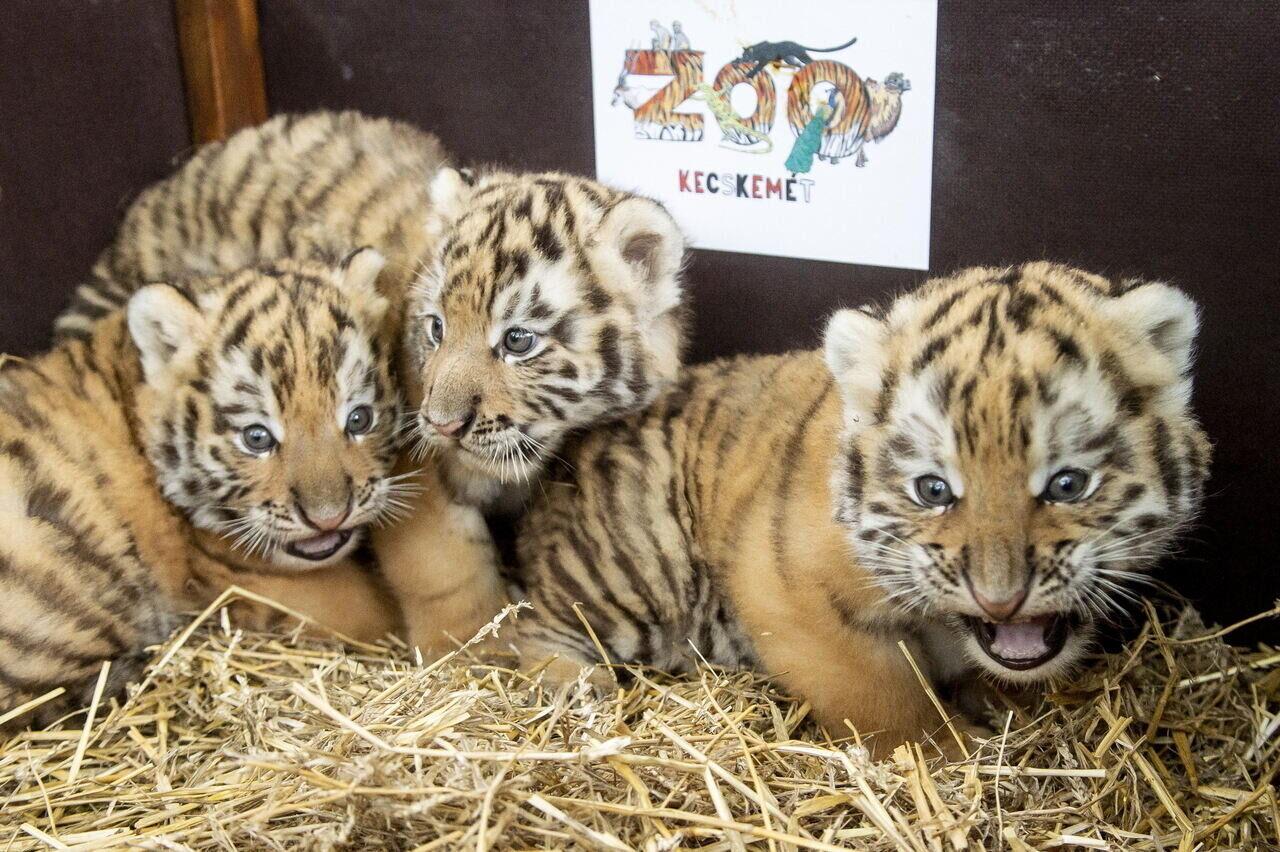 tigrisek kecskeméten